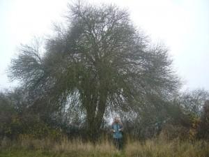 Um was für einen, laubenartigen Baum es sich hier handelt, konnten wir leider nicht ermitteln. Er stand am Wanderweg aus dem Warnowtal in Richtung Kritzow.