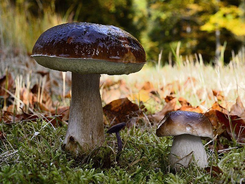 Auch dieses wunderschöne Foto von Hochglanz - Steinpilze (Boletus edulis) schickte mir Andreas. Er hat es im Herbst 2012 fotografiert.
