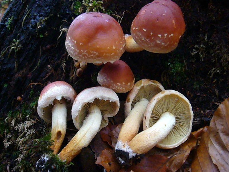 Ziegelroter Schwefelkopf (Hypholoma sublateritium).