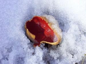 Diesen zinnoberroten Farbtupfen im Schnee sendete mir gestern Andreas Okrent zu. Er hat nochmals den Standort aufgesucht, wo er bereits im Januar die ersten, kleinen Kelchbecherlinge aus der Gattung Sarcoscypha fotografierte. Dieses Foto sollte uns Mut machen, denn trotz Schnee ist der Frühling und somit der Beginn der hoffentlich guten Pilzsaison 2013 nicht mehr aufzuhalten.
