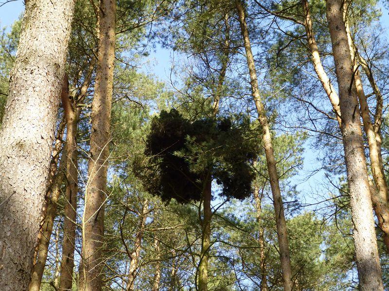Und plötzlich in den lichten Kiefernkronen so ein düsteres Gebilde von der Größe eines Adler - Horstes. Aber es ist kein Vogelnest, es sind dicht verzweigte Kiefernzweige mit unzählingen dunkelgrünen Nadeln. Berhard Virgens beobachtet das Gebilde schon viele Jahre uns nennt es Hexenbesen. Diese gibt es tatsächlich vor allen an Birken. Es ist die Gattung Taphrina. Soll es diesen Schlauchpilz, der derartige, dichtverzweigte Wucherungen auslöst auch an Kiefern geben? Sicher eine eigene Art!
