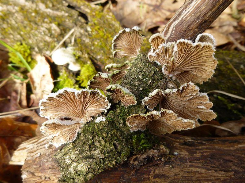 An einem am Waldrand sonnig und trocken liegenden Buchenast zahlreiche Striegelige Trameten und die hier fotografierten Spaltblättlinge (Schizophyllum comune). Sie lieben solche extrem trockenen Standorte.