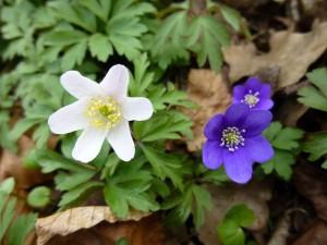 In unseren guten, kalkhaltigen Laubwaldstandorten beeilen sich jetzt Buschwindröschen und Leberblümchen mit dem Blühen. Sie müssen sich beeilen, denn bei den erneut vorausgesagten hohen Temperaturen könnte sich das Laubdach schnell schließen. Das Leberblümchen (rechts) ist übrigens Blume des Jahres 2013. Es steht nicht nur augenscheinlich den Anemonen sehr nahe, sondern wird auch von einigen Botanikern in diese Gattung gestellt. Standortfoto am 19.04.2013 in der naturnahen Parkanlage in Kuhlen.