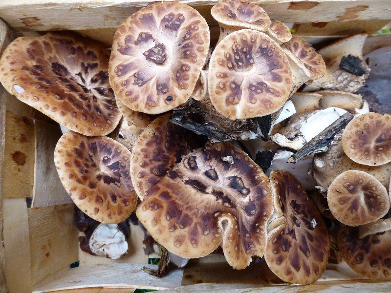 Zur selben Gattung gehört der jung essbare Schuppige Stielporling (Polyporus lepideus). Ab Ende April wächst er oft einzeln, büschelig oder dachziegelartig an lebenden oder totem Laubholz. Er erreicht oft spektakuläre Größenordnungen, so dass er einer der größten mitteleuropäischen Hutpilze ist. Ein wahrhaftiger Großpilz. Sind die Pilze noch jung und zartfleischig sind sie essbar und von guten Geschmack. Sie duften markant nach frischen Gurken. Sie brachen heute in großen Mengen am Fuße von Erlen heraus oder auch an deren Stubben.