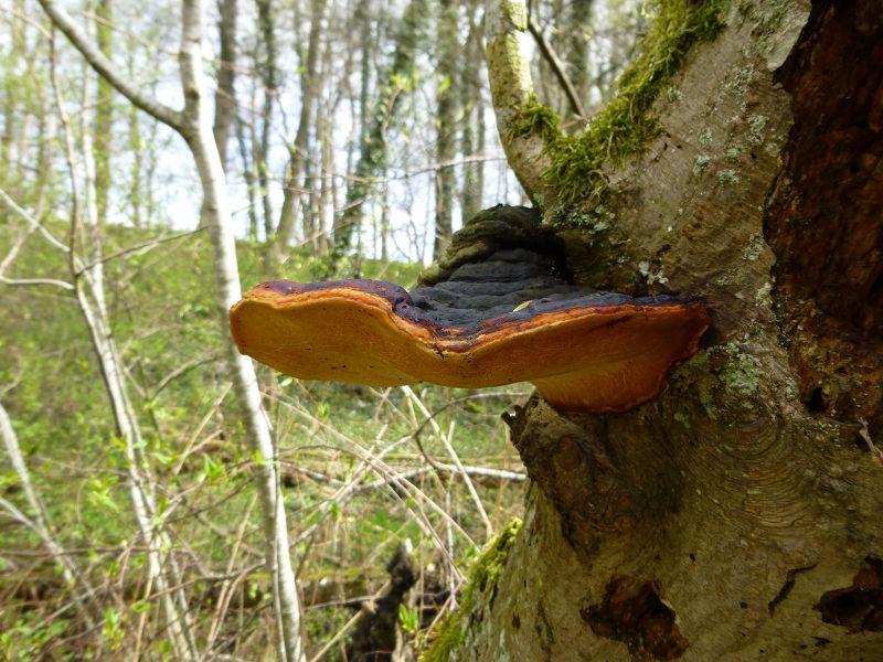 So wie dieser wunderschöne Rotrandige Baumschwamm (Fomitopsis pinicola). Er wird auch des öfteren unter der Bezeichnung Fichtenporling geführt, was nur bedingt zutrifft. Er wächst außer an Fichte, so wie hier besonders häufig auch an Erle, Rotbuche und Birke. Standortfoto.