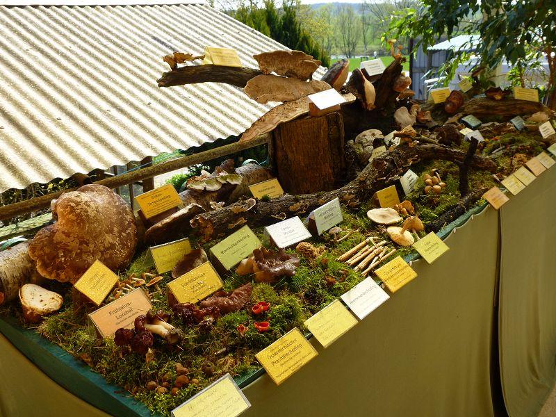 Mit eiwa 50 Pilzarten war unsere kleine Ausstellung am Sonntag Mittag fertig. Ich stellte nochmals die wichtigsten Arten kurz vor, bevor zum Mittagstisch geladen wurde.