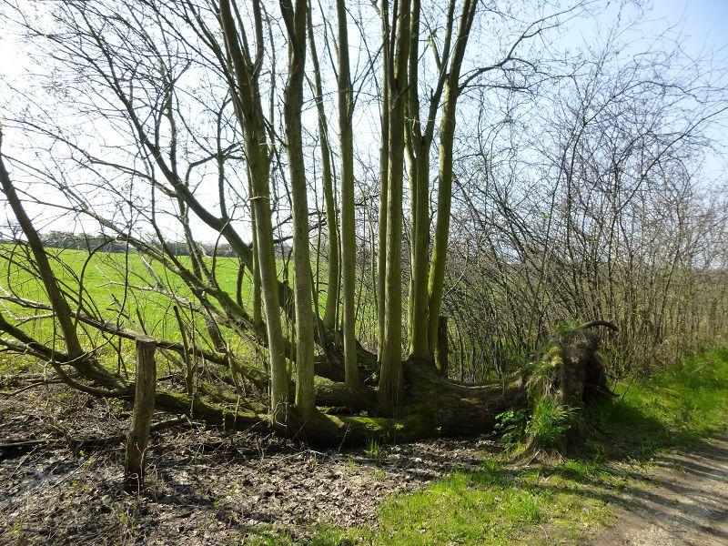 Vor etlichen Jahren ist diese Weide im Sturm gestürzt. Inzwischen ist aus ihren liegenden ein kleiner Wald von stattlichen Bäumen ausgetrieben. Das Leben geht weiter!