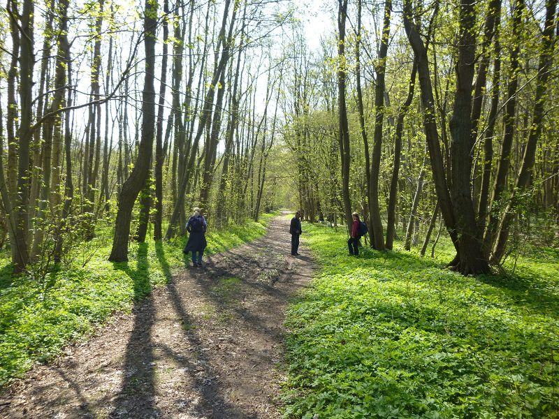 So ein wunderschöner Frühlingswald läßt doch das Herz der Morchelfreunde höher schlagen. Ein Idealgebiet für diese beliebten Leckerbissen, aber leider nichts zu machen. Es sollte nicht sein!