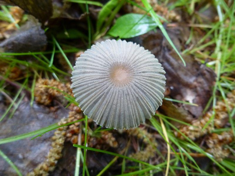 Wunderschön frisch nach nächtlichem Gewitterregen ist dieser zarte Scheibchen- oder Rädchen - Tintling (Coprinus plicatillis) - Standortfoto.