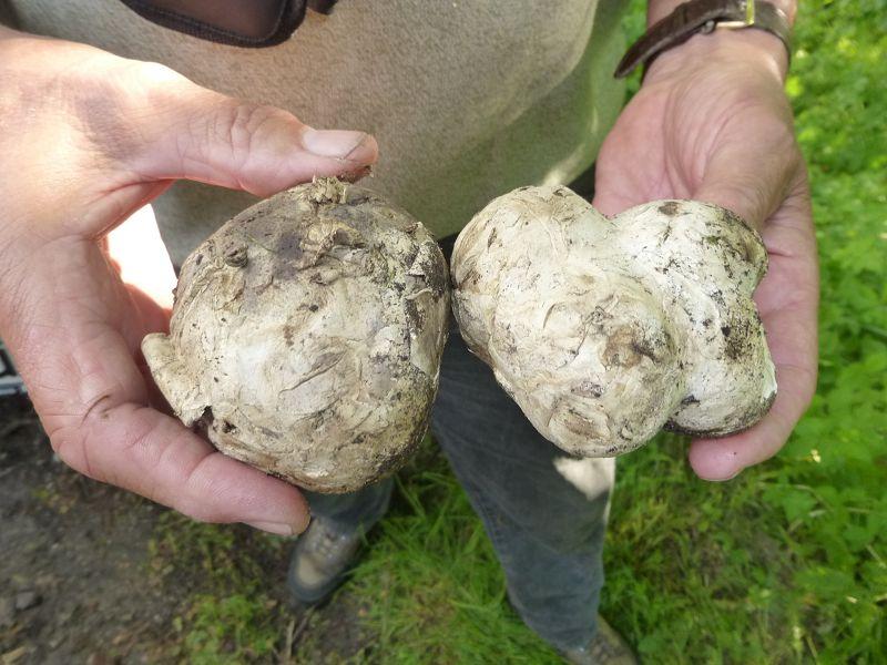Dafür brachte Klaus Warning uns zwei junge Fruchtkörper des sehr seltenen Sternstäublings (Mycenastrum corium) mit.