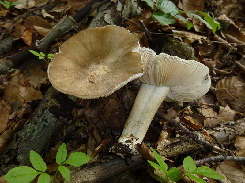 Die großen Breitblättrigen Rüblinge begleiteten uns die gesamte Wanderung., Wie so oft in dieser Übergangszeit sind sie in feuchteren Wäldern oft die einige ansehliche Pilzart, die auffallnd häufig zu sehen ist. Schwach giftig. Standortfoto.