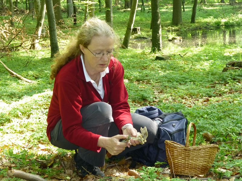 Monika Leister aus Lübeck hat ein ganzes Büschel Frühlings- oder Voreilende Ackerlinge entdeckt und säubert die Pilze sorgfältig bevor sie in den Sammelkorb wandern.