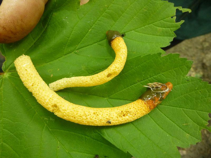 Diese Pilzart, die Gemeine Hundsrute (Mutinus caninus), so zu sagen eine Mini - Stinkmorchel, durfte heute natürlich nicht fehel, schließlich sind wir ja im Hundehagener Holz!