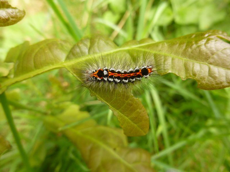 Und dann auf einer winzigen Eiche diese wunderschöne Raupe. Welchem Schmetterling wird sie wohl zuzuordnen sein. Hoffentlich nicht dem Eichen - Prozessionspinner!?