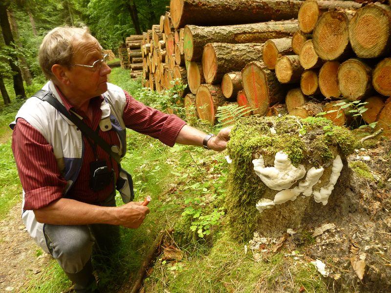 Klaus Warning betrachtet einen Fichtenstubben, an dem zahlreiche, frische Konsolen eines Porlings heraus wachsen.