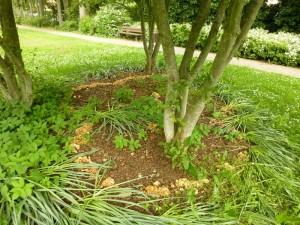 Wie im Hexenring wuchsen diese Büschelligen Blasssporrüblinge genau am Rand des Rindenmulches und bildeten eine imposante Umrandung unter dieser kleinen Baumgruppe. Standortfoto am 16.06.2013 auf dem Wismarer Friedhof.