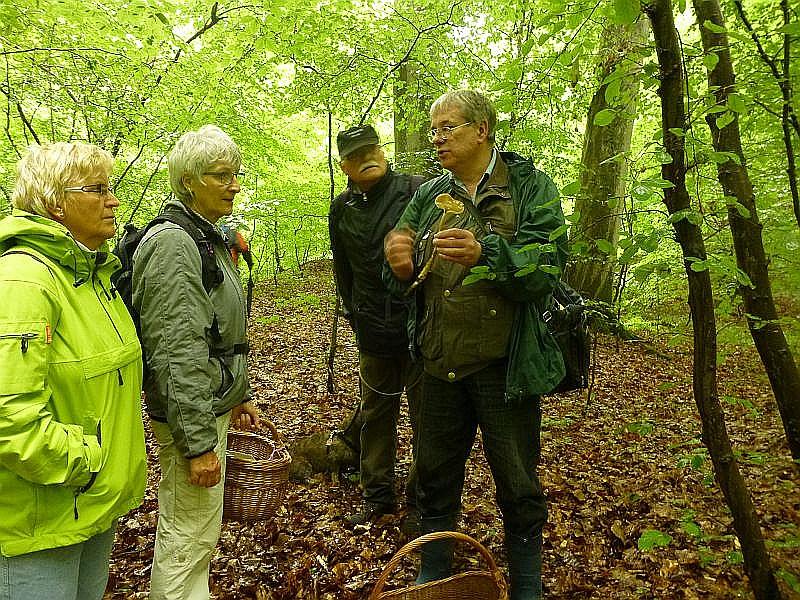 Hier erläutere ich einen sehr schlanken und hochbeinigen Blätterpilz mit einer oft sehr langen Pfahlwurzel, die umso länger sein kann, je tiefer die Wurzel des Witsbaumes im Waldboden verankert ist, dem Ausgangspunkt des Wurzel Schleimrüblings (Xerula radicate). Foto: Sabine Kock.