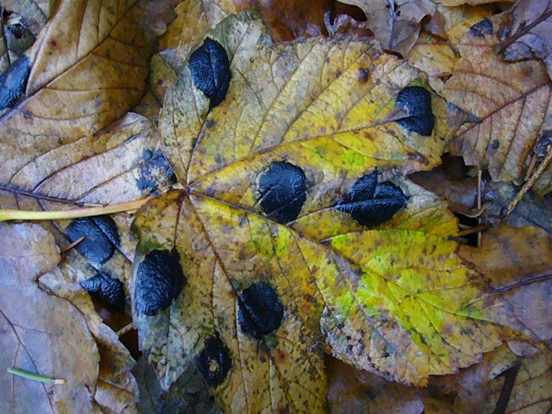 Ahorn - Runzelschorf (Rhythisma acerinum). Diese schwarzen, runzlig - schorfigen Flecken von i bis 2 cm Durchmesser sind im Spätherbst oft auf den Blättern von Ahorn, insbesondre von Spitz - Ahorn zu finden. Es handelt sich dann um die Konidienform dieses Schlauchpilzes. Die Hauptfruchtform tritt im Frühling auf.. Landläufig wird der Befall von Ahorn - Runzelschorf aus als Teerfleckenkrankheit bezeichnet.
