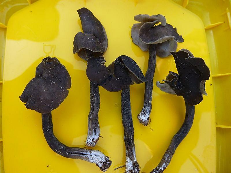Zunächst zeigte uns Andreas diese seltenen Schwarzen Lorcheln, die er aus einem anderen Gebiet mit brachte. Es dürfte sich um Helvella atra handeln. Sie wächst in Laubwäldern und Gebüschen und Gebüschen und steht auf der Roten Liste der vom Aussterben bedrohten Pilzarten in der Kategorie 2 = stark gefährdet!