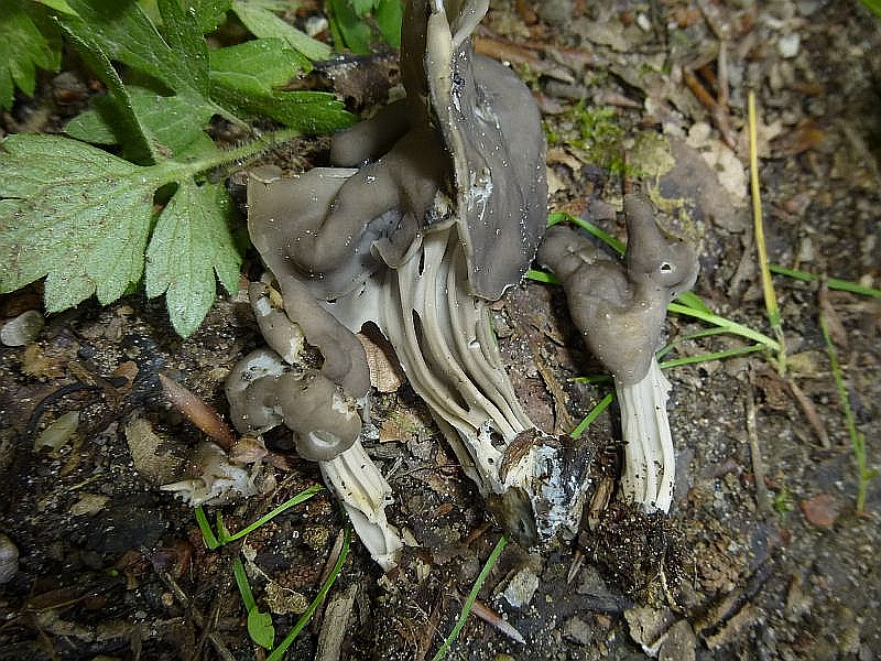 Unweit der Fundstelle des obigen Täublings wuchsen diese Gruben Lorchen (Helvella lacunosa) am Wegesrand.