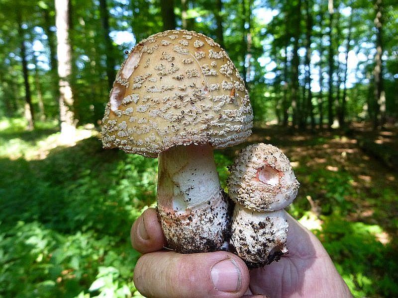 Perlpilze (Amanita rubescens) gab es heute immer wieder und wer ein Pilzgericht mit nach hause bringen wollte, tat gut daran, diesen beliebten Speisepilz in den Korb zu legen.