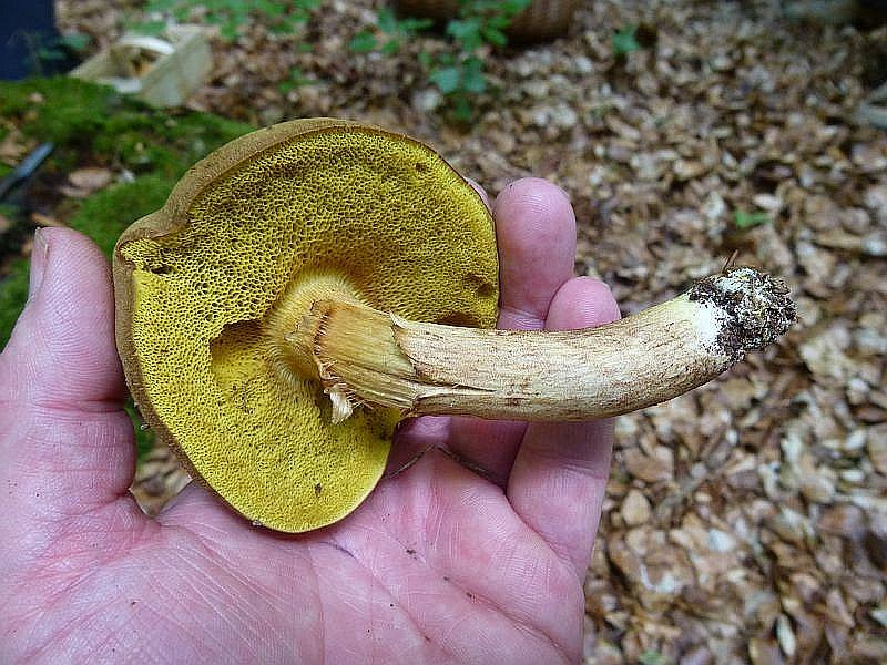 Auch die Ziegenlippe (Xerocomus subtomentosum) gehört zusammen mit dem Rotfuß - Röhrling zu den Filzröhrlingen. Im Gegensatzt zum Rotfüßchen besitzt die Ziegenlippe niemals rötliche Tönungen am Stiel. Der Hut ist nicht rißig, sondern wildlederartig samtig und olingrünlich gefärbt. Die Röhren sind leuchtend gelb, hier schon etwas in gelbgrünlich umgeschlagen. Essbar.