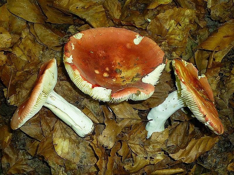 Der Rosa - Täubling (Russulas rosea) liebt den Hochsommer. Er ist dann in besseren Buchenwäldern besonders in heißen Jahren oft aspektbildend. Er ist essbar, soll aber etwas bitterlich schmecken. 17.07.2013 im Radebachtal, MTB: 2236/1.