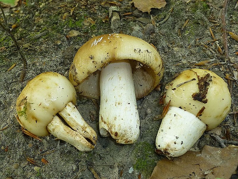 Der große Stink - Täubling (Russula foetens) ist in guten Buchenwäldern zu hause. Selbst bei der momentanen Trockenheit waren diese Pilze völlig schmierig. Ungenießbar. Radebachtal am 17.07.2013, MTB 2236/1.