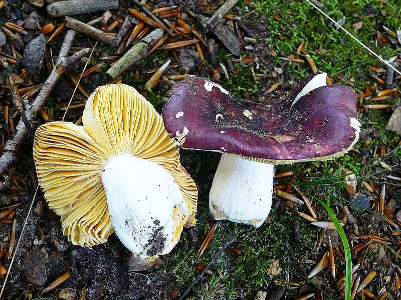 Bei diesen schönen und markannten Täublingen (Russula specc.) handelt es sich um zwei verschiedene Arten, wie das folgende Bild verdeutlicht.