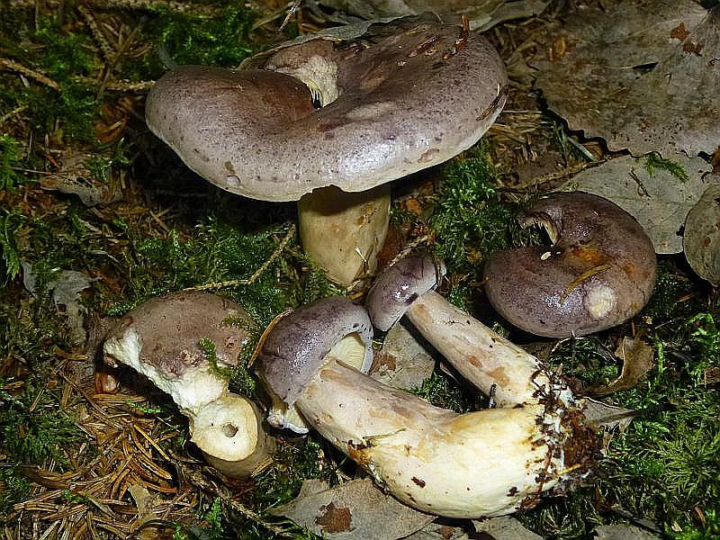 Der Nordische Milchling oder Blaureizker (Lactarius trivialis) ist auch bei uns punktuell besonders unter Birken an Seeuferbereichen anzutreffen. Ungenießbar.
