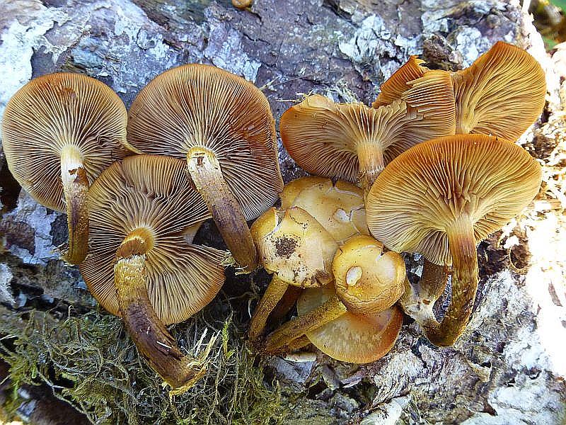 Dafür hatte ich in punkto Pilze wieder einen kleinen Erfolg zu verbuchen. An einem liegenden Birkenstamm wuchsen einige Stockschwämmchen (Kuehneromyces mutabilis).