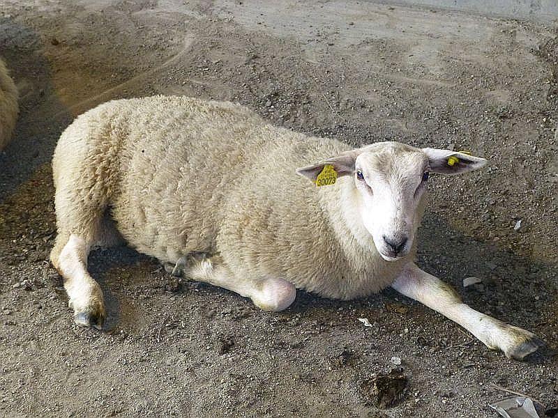 Auf den Asphaltstrassen der Hochebene machen es sich Schafe gemütlich. Wie man sieht, sind sie nicht aus der Ruhe zu bringen.