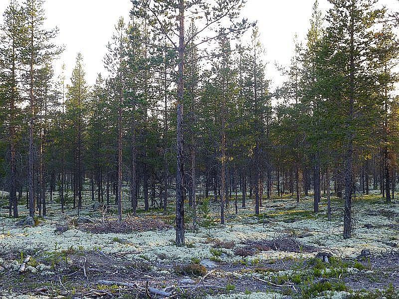 Kilometerweit fuhren wir nun durch solche armen Flechten - Kiefernwäldern. Ein Paradies für Kiefern - Steinpilze!