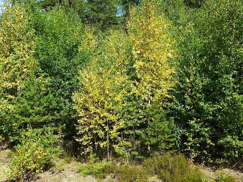 Zahlreiche Birken hatten hier mitten im Hochsommer schon ihr goldenes Herbstkleid angelegt. Der steinige und felsige Untergrund kann die Feuchtigkeit stellenweise kaum binden und die Bäume leiden unter Wassermangel.