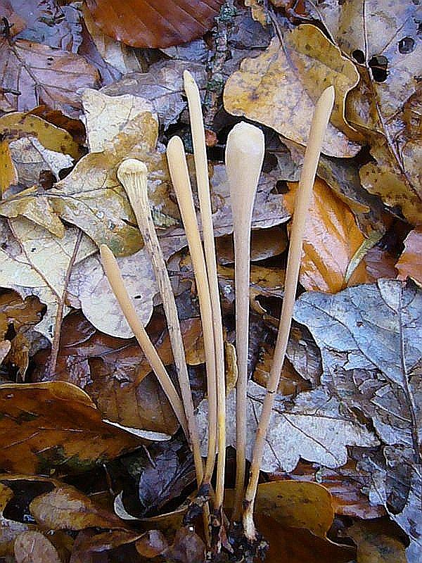 Stumphe Röhrenkeule (Clavariadelphus fistulosa). Bis zu 20 cm hohe, sehr schlanke, gelbbräunlich gefärbte, röhrige Keule im Spätherbst zwischen Humus und Blättern in unseren Laubwäldern. Mitunter sehr gesellig. Ungenießbar. Am Standort im Wald bei Daliendorf fotografiert.