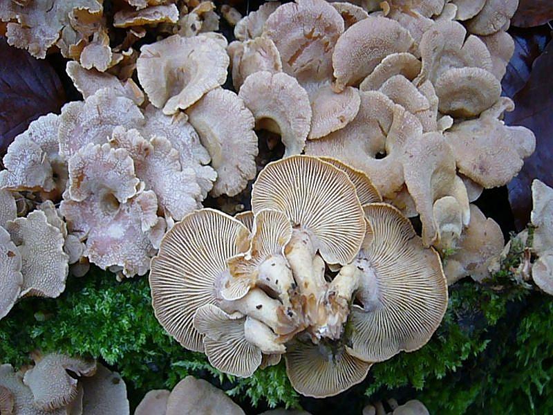 Herber Zwergknäueling (Panellus stypticus). Dieser häufige und leicht kenntliche Holzbewohner besiedelt besonders Eichen - Stubben, kann aber auch an Erle, Birke, Rotbuche, Weide, Haselnuß und Holunder gefunden werden. Seine engstehenden Lamellen sind aprupt vom Stiel angesetzt und sein Fleisch schmeckt herb bitterlich und ist außerden zäh. Ungenießbar. Standortfoto. Der Pilz ist im Prinziep ganzjährig zu finden.