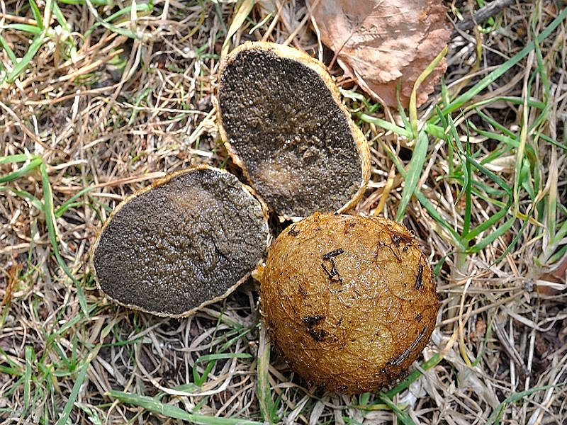 Gelbbräunliche Wurzeltrüffel (Rhizopogon luteolus). Die recht häufige Art wächst in der Regel unter Kiefern auf trockenen Sandböden. Soll aber auch in Flachmooren und Erlenbrüchen, sehr dicht unter der Oberfläche, vorkommen. Meidet Kalkböden. Ungenießbar. Foto. Andreas Okrent im August 2013 bei Graal - Müritz.