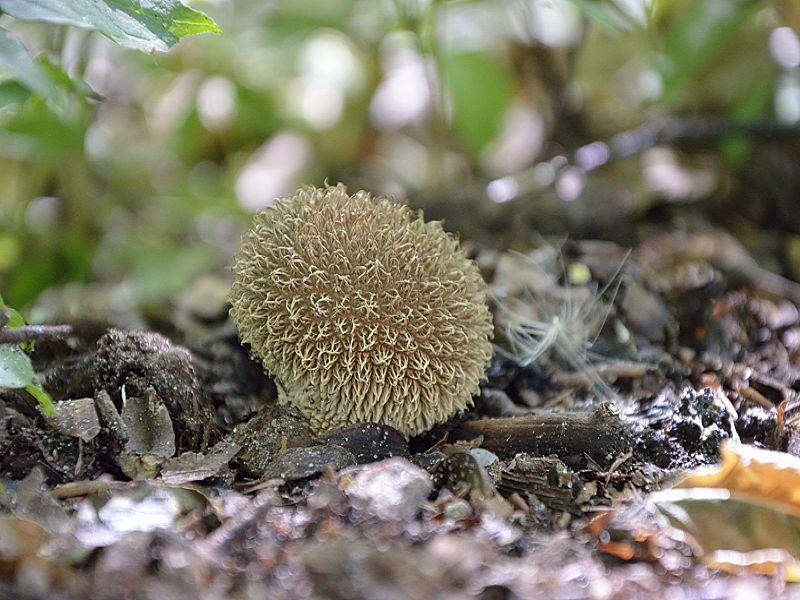 Und wieder von Andreas: Igel - Stäubling (Lycoperdon echinaceum).