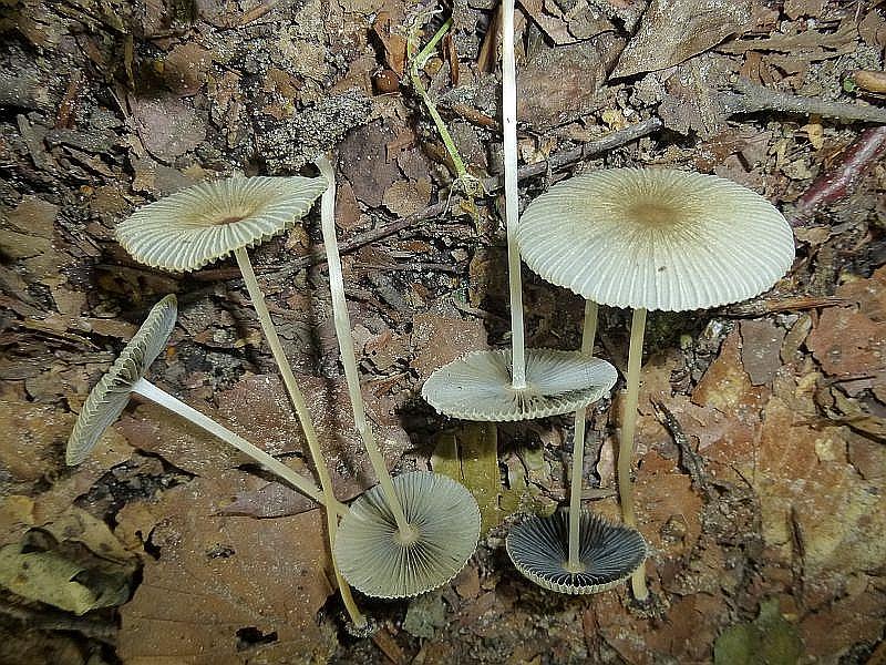 Dann ein Trupp dieser Eintagsfliegen. Es sind zarte und filigrane Tintlinge, möglicherweise Scheibchen oder Rädchen -Tintlinge (Coprinus plicatilis). Um sicher zu gehen, müßten sie aber mikroskopiert werden.