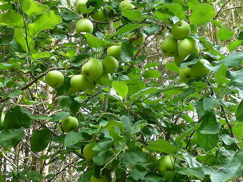 Und dann mitten im Jungkiefernwald am Wegesrand ein gut tragender Apfelbaum. Zwar noch etwas sauer, aber in zwei Wochen könnte geerntet werden, meint Pilzfreund Jürgen. Er wird die Äpfel wohl holen, falls ihm nicht jemand zuvor kommt.