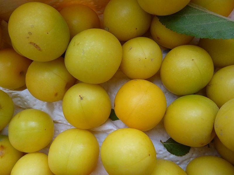 Hungern brauchte auf unserer Abendwanderung aber niemand. Kirschen, Äpfel, Brommbeeren und diese gelben Pflaumen begleiteten uns die gesamte Strecke entlang.