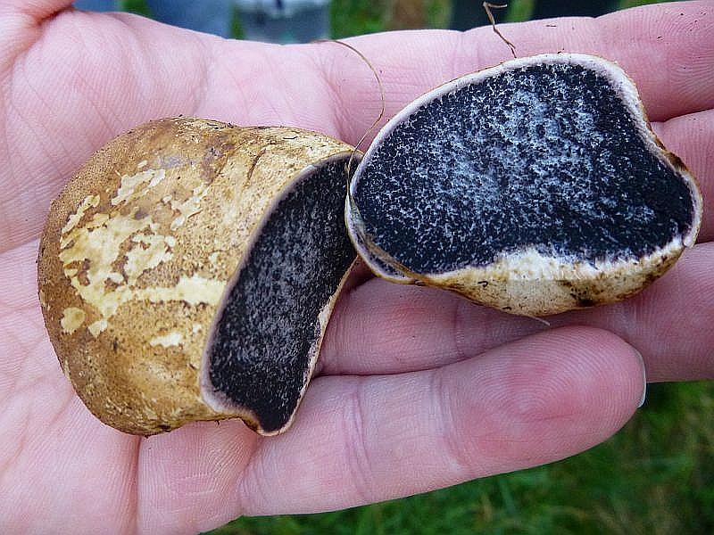 Es dauerte nicht lange, und die ersten Frischpilze wurden entdeckt. Es handelt sich um den schwach giftigen Dünnschaligen Kartoffel - Hartbovist (Scleroderma verrucosum).