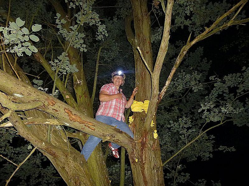 Aber dann war Mut und Sportlichkeit gefragt. In gut vier Meter Höhe haben wir ganz frische und saftige Schwefelporlinge entdeckt. Irena ergreift die Initiative und erklimmt den Baum.