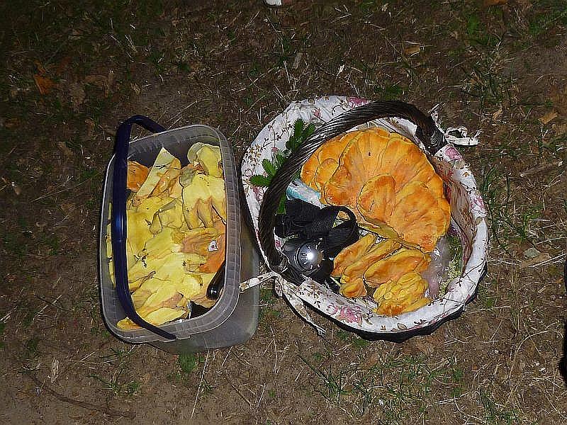 Und womit niemand zu Begin der Wanderung rechnete, die Sammelbehältnisse waren am Ende gut gefüllt und eine Pilzmahlzeit gesichert!