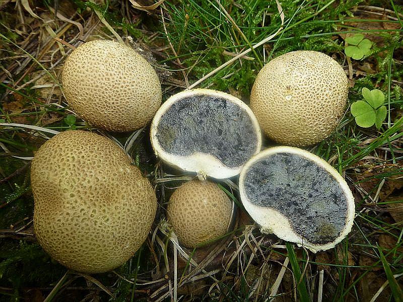 Relativ resistent gegen Trockenheit sind diese Dickschaligen Kartoffel - Hartboviste (Scleroderma citrinum). Sie wuchsen hier stellenweise recht gesellig. Schwach giftig und am Standort fotografiert.