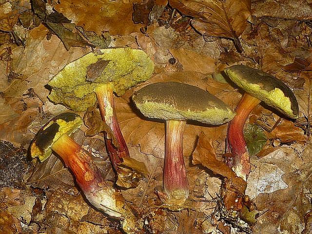 Zu den Filzröhrlingen zählen auch diese ungleich häufigeren Rotfüßchen (Xerocomus chrysenteron). Ihr zartes und saftiges Fleisch riecht und schmeckt leicht säuerlich.