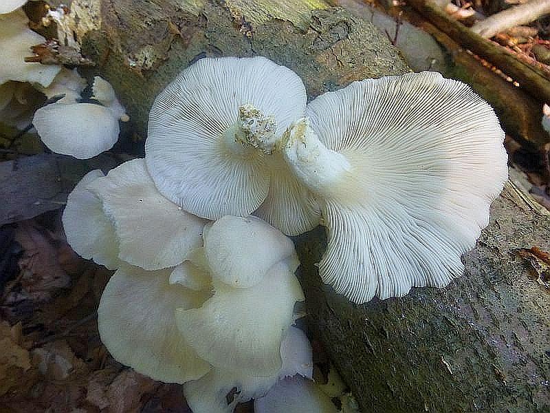 Beeindruckend war heute auch ein Massenvorkommen des ebenfalls recht seltenen Sommer - Austernseitlings (Pleurotus pulmarius) auf liegenen Buchenstämmen und dickeren Ästen im Radebachtal. Im Gensatz zum normalen Austernseitling, der frostige Temperaturen als Wachstumsauslöser benötigt, ist dieses eine wärmeliebende Art und soll besonders zahlreich während der hochsommerlichen Hitzeperioden erscheinen. Die Pilze sind dünnfleischiger und zarter als beim herkömmlichen Austernseitling und sehr hell, ja fast weißhütig. Standortfoto.