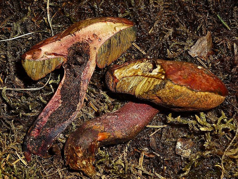 Seit Jahren beobachte ich im Radebachtal bei Blankenberg einen merkwürdigen Hexen - Röhrling. Habituell ähnelt er schlanken Formen von Booletus luridus. Sein Hut ist weinbraun bis dunkel weinrötlich und anstatt einer Netzstruktur besizt er unzählige, dunkelweinrote Flöckchen am Stiel. Boltus luridiformis kommt aber keinsfalls in Betracht. Zunächst hielt ich den Pilz, als wir ihn auf einer Pilzwanderung am 24.08. 2013 wieder fanden, für einen Weinroten Hexen - Röhrling (Boletus dupainii). Dank der Intervention von Andreas Okrent bei dem Röhrlingsexperten Jürgen Schreiner, konnten wir der Art schon deutlich näher kommen. Boletus daunii kann also verworfen werden, denn kürzlich wurde eine neue Hexen - Röhrlingsart aus der Sektion luridi beschrieben, nähmlich Boletus mendax. Da der Pilz in der mir zur Verfügung stehenden Literatur natürlich noch nicht enthalten ist, konnte ich im Internet tatsächlich einige schöne Vergleichsfotos finden, so dass ich zu der Erkenntnis gelngt bin, das es sich bei unserem Fund wohl in der Tat um B. mendax handeln könnte. Eine deutschen Namen habe ich noch nicht gefunden. Hier die Funddaten dieser anscheinend sehr seltenen Röhrlingsart. 24.08.2013 im Radebachtal MTB 22362 im kalkhaltigen Buchenwald auf den dortigen Hangterassen. Häufig auch ganz unter, direkt am Bachlauf.
