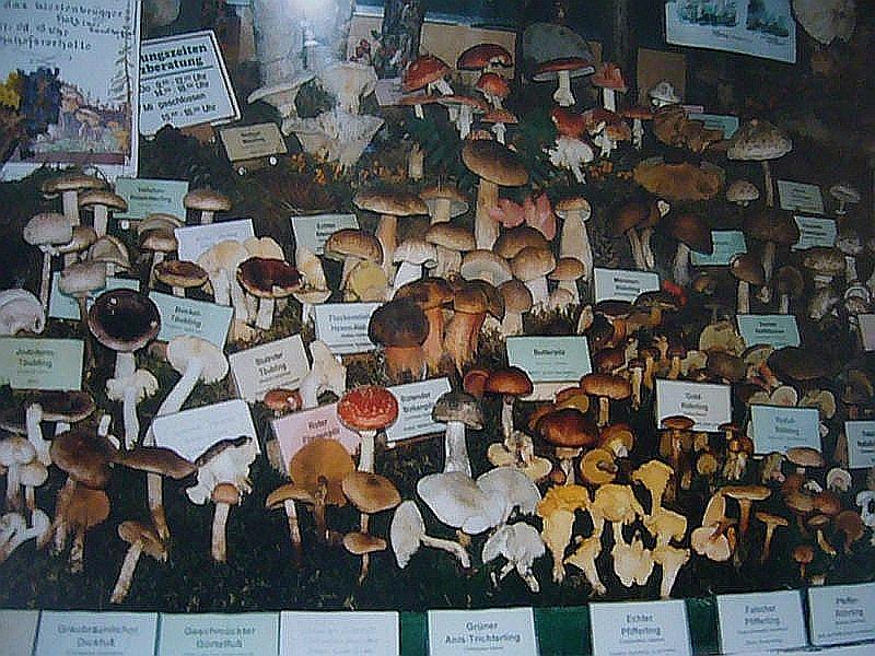 Schaufensterausstellung in den 1990er Jahren. Von 1981 bis zum Jahre 2002 war ich nicht nur für die Pilzberatung zuständig, sondern auch für die Gestaltung unserer Schaufensterausstellung. Zwei mal wöchentlich habe ich sie in der Regel jeweils von April bis November erneuert. Alles ehrenamtlich und nach Feierabend, denn ich arbeitete
