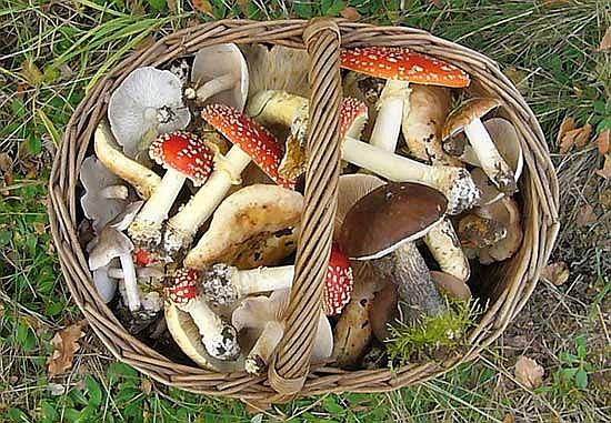 Ein Korb voller Pilze. Doch welche von denen mögen wohl essbar sein? Wie es aussieht, auf jeden Fall ein Fall für die Pilzberatungstelle!